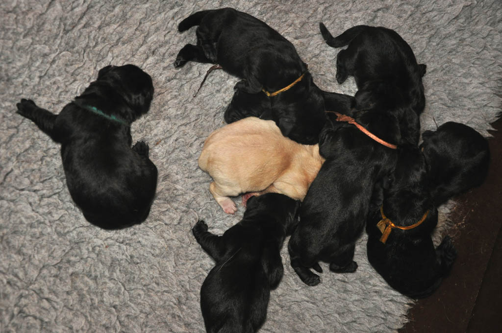 Labrador Puppy by Labradors Yochiver Belgium