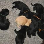 Puppy van Labrador Retriever fokker uit België Labradors Yochiver
