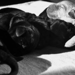 Labrador Pup Tinka Yochiver van Labradors Yochiver uit België
