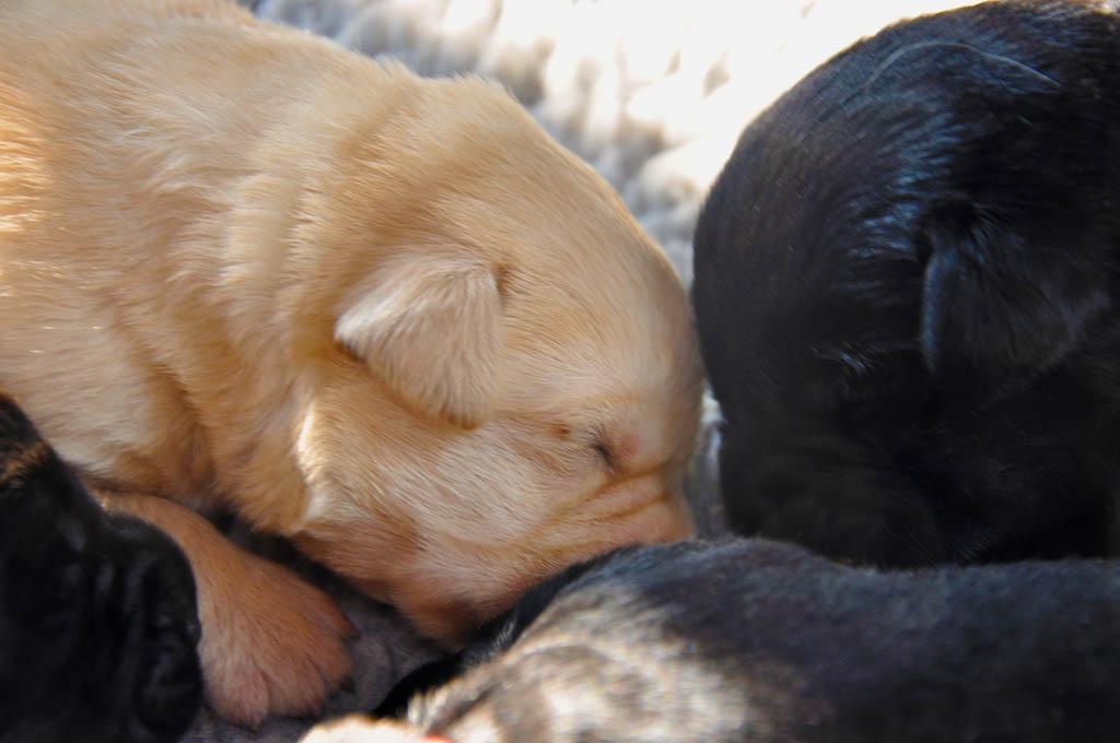 labrador retriever pup van Labrador fokker uit België Yochiver