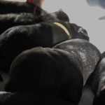 Labrador Retriever Puppy Labradors Yochiver Belgium