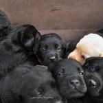 Labrador Retriever Pup België Yochiver