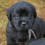Labrador Retriever Puppy Belgium Yochiver