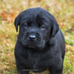 Labrador Retriever Puppy Belgium Yochiver