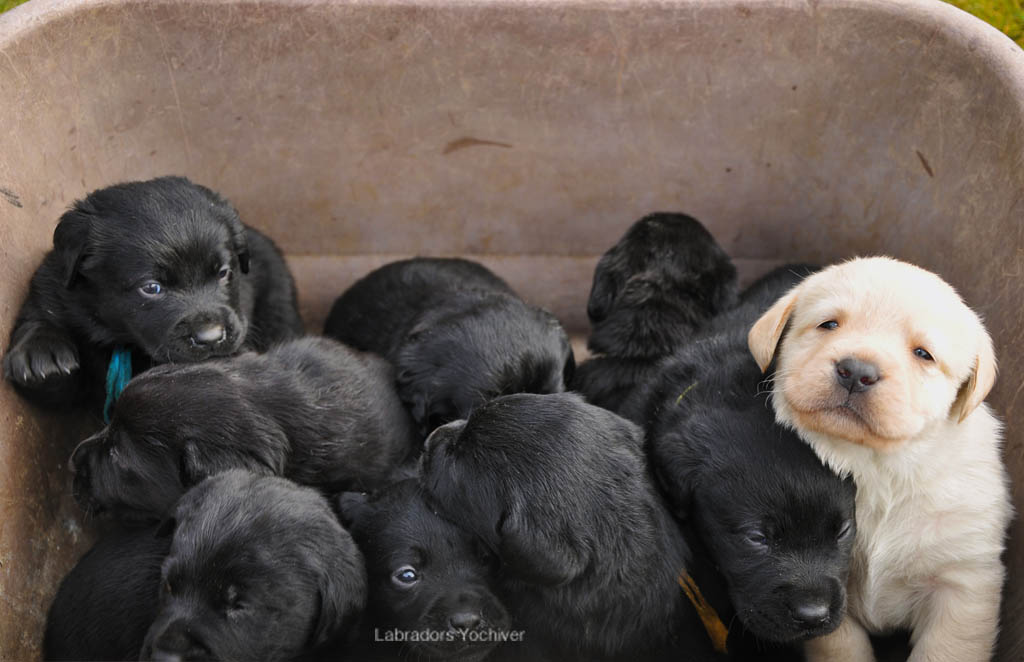 Labrador Retriever puppies Yochiver