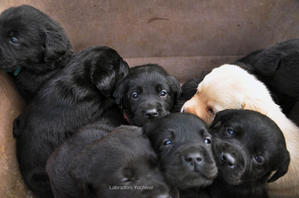 Labrador pups uit België van Yochiver