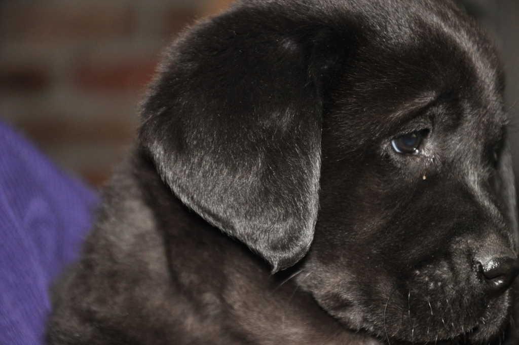 Zwarte Labrador Pup Foto