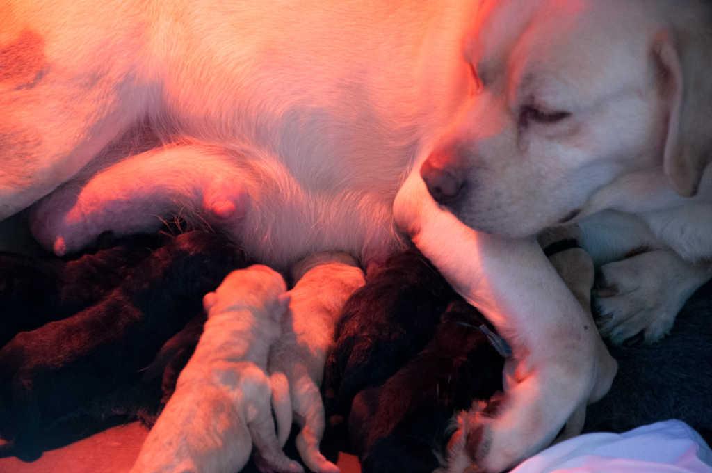 Labrador puppy nestje Noxa Scoter