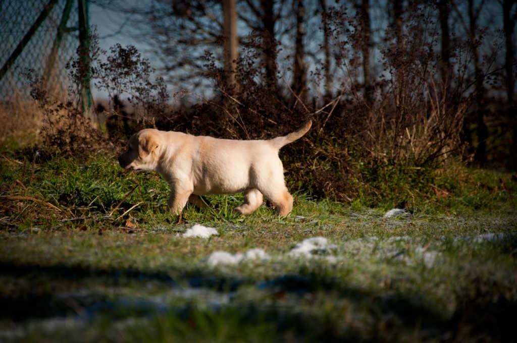 Labradorpupje speelt buiten