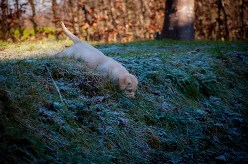 Yellow labrador puppy exploring
