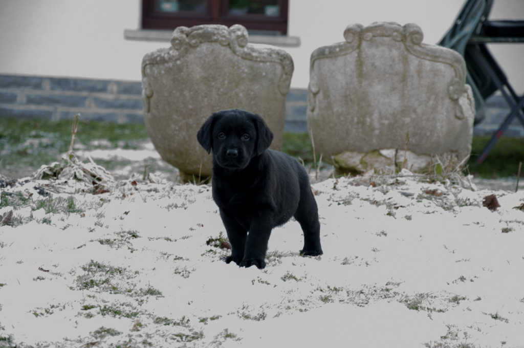 Black Labrador puppy posing in snow