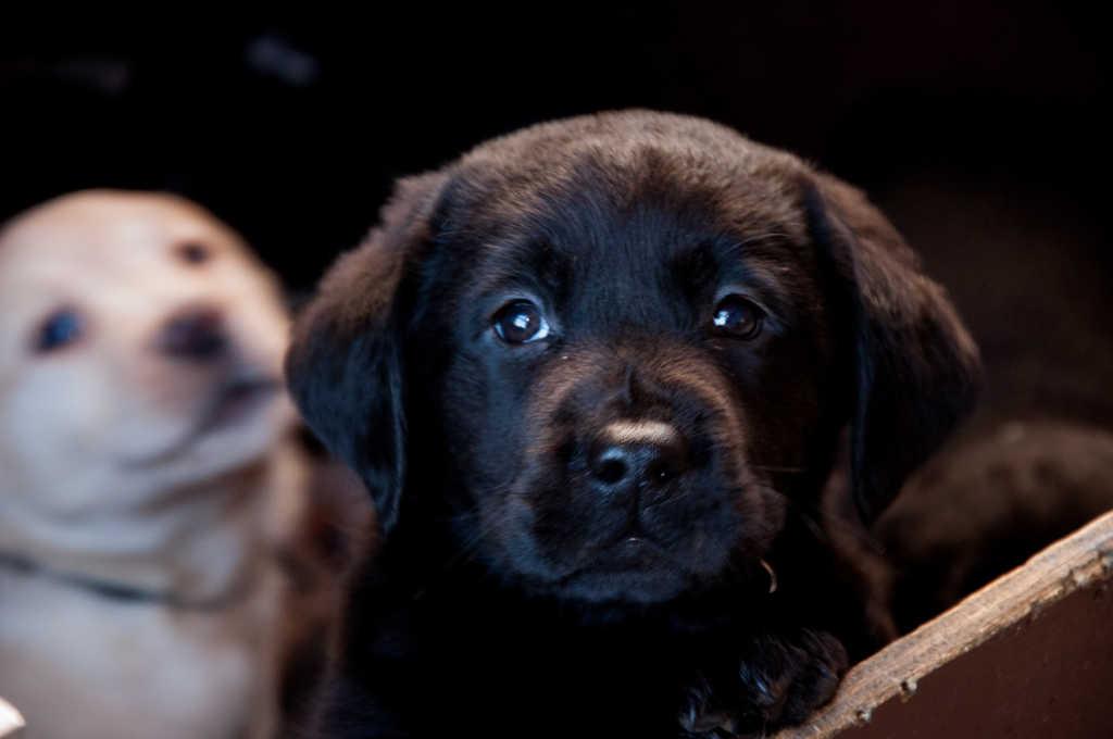 Black Labrador puppy posing for camera
