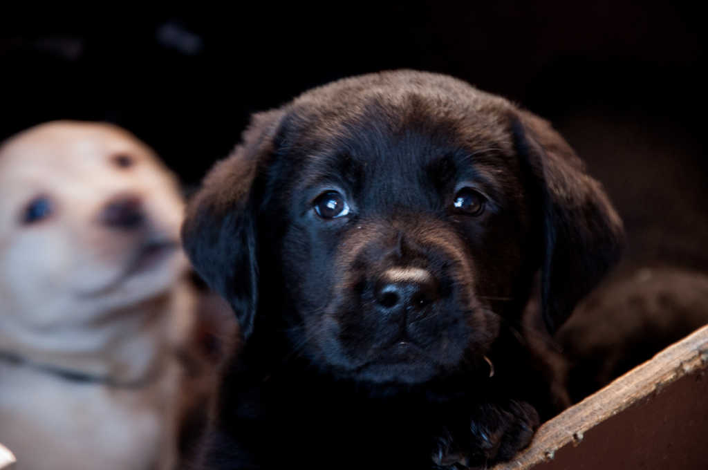 Zwart labradorpupje poseert voor de foto